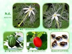 烏瓜・花から種へ