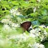 牡丹蔓に蝶