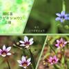 庭石菖 三種