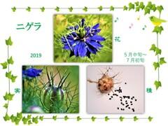 ニゲラ・花から種へ