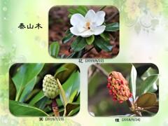 泰山木・花から種へ