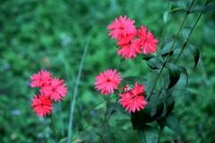仙翁花(センノウゲ)
