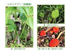 ムサシアブミ(武蔵鐙)・花から種へ