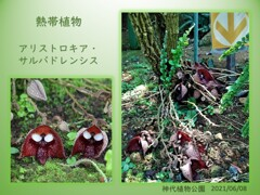 珍しい熱帯植物