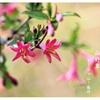 鶯神楽(ウグイスカグラ)の花2