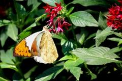 ツマベニチョウ(褄紅蝶)