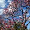 梅かおる(2)