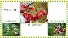 マユミ(檀)・花から種へ