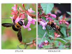 ピンクアベリアと蜂たち