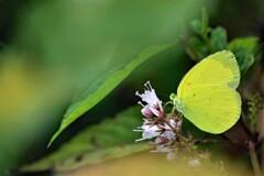幸せの黄色い蝶々