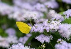 蜜を吸うキチョウ
