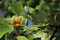 ユリノキの花(2)