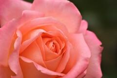 秋のバラ1