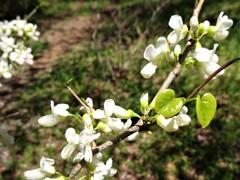 白花ハナズオウ
