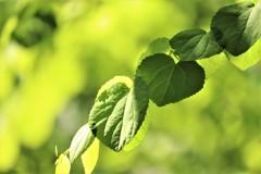 桂の木の葉は・・・