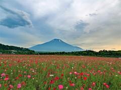 初夏の富士山(ポピー)
