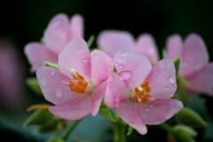 里美の春(ドンベア)