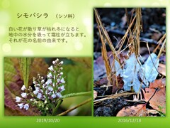 シモバシラという名の花