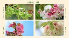 八重桜 4種