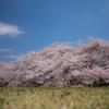 丘からの桜の便り