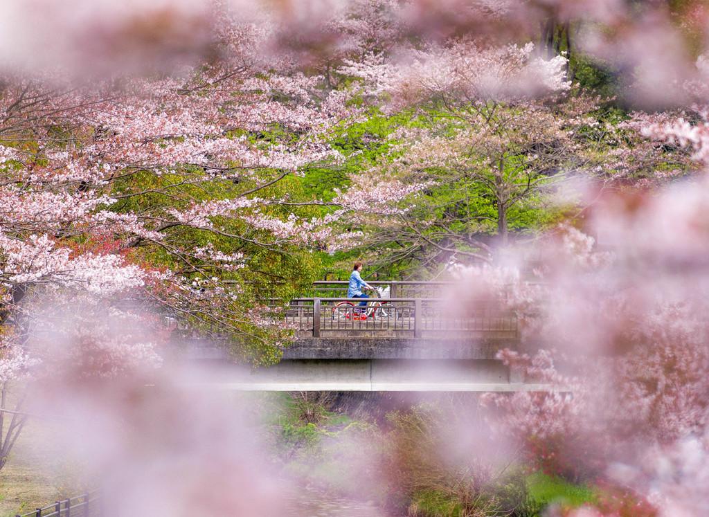 自転車でお花見