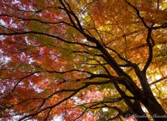 まばら色の紅葉