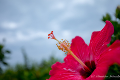 やっぱり沖縄の花はハイビスカスですね〜