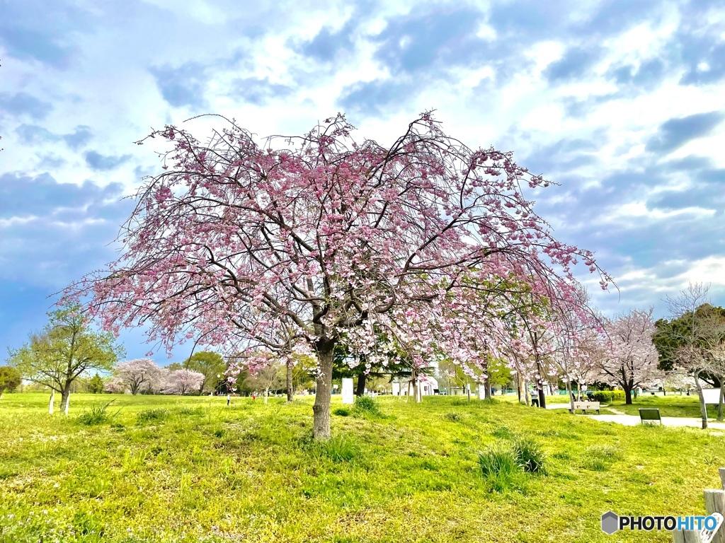 桜もそろそろ見納め