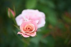 花菜ガーデンの秋薔薇