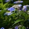 横浜市こども植物園の紫陽花