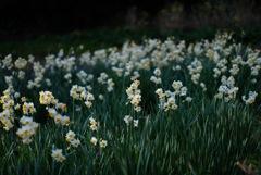 くりはま花の国の水仙