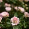 横浜市こども植物園の薔薇