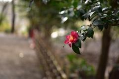 三渓園の山茶花