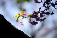 春告げる花1