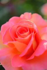 薔薇の香り1