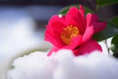 雪の山茶花1
