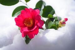 雪の山茶花2