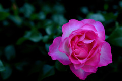 秋の薔薇3