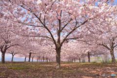 咲き誇る八重桜