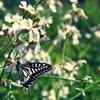 浜大根の花とアゲハチョウ