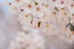 桜 2019-2