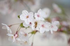 桜 2019-1