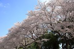 今が見頃の桜並木