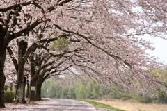 のんびりと桜の下を