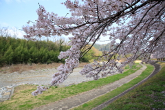 降りそそぐ桜