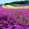 コマチソウと虹色の絨毯