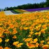 カリフォルニアポピーと虹色絨毯(ハナビシソウ)