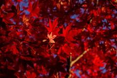 鮮烈な赤④