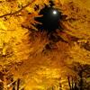 北大銀杏並木ライトアップ!+お月様