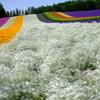 カスミソウと虹色絨毯